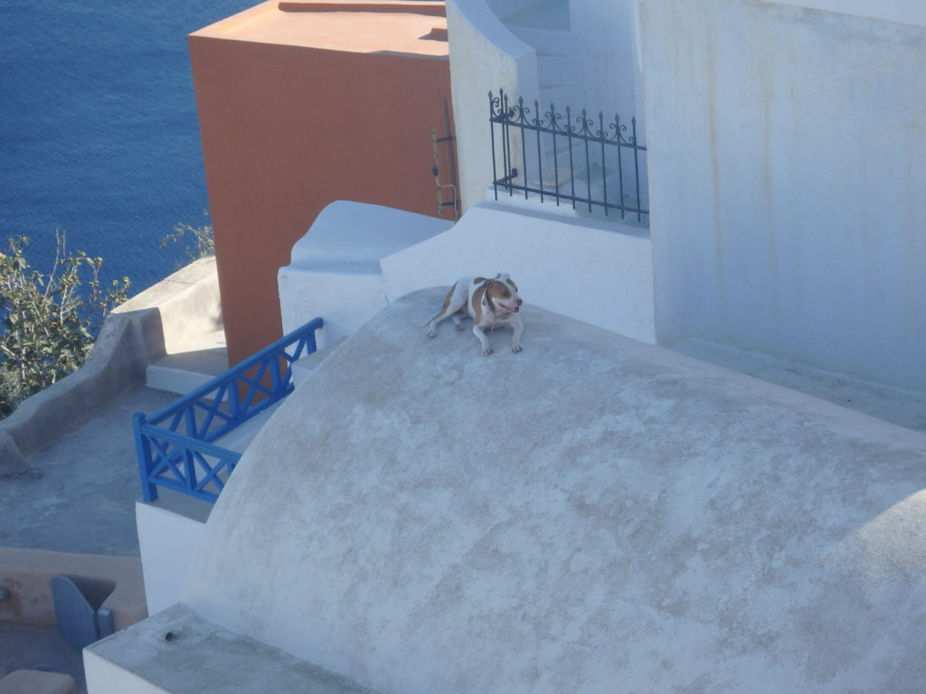 dog in oia